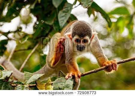 Common Squirrel Monkey, New World Monkey, Playing In The Trees