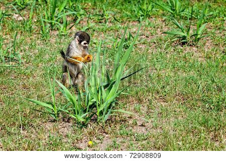Common Squirrel Monkey Looking For Food, Tropical Rainforest