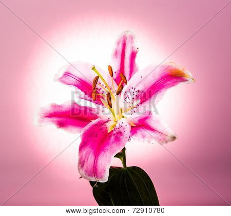Lilly Flower Isolated On Pink  Background