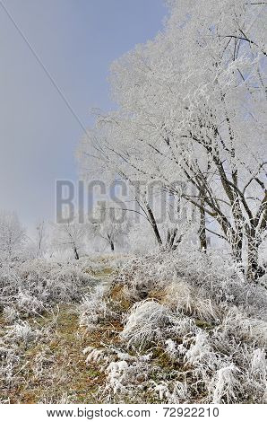 Frosty tree in frosty misty morning