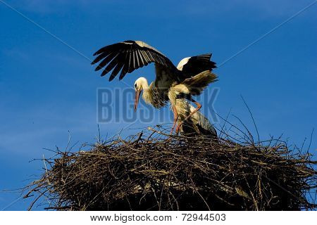 Storch -
