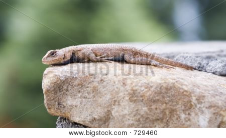 Male Eastern Fence Lizard