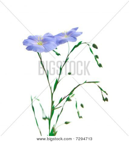 Flower Of Flax