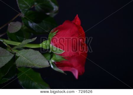 A Single Rose's Reflection