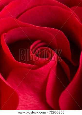 Close up of beautiful velvet red rose