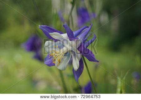 Purple and White Columbine