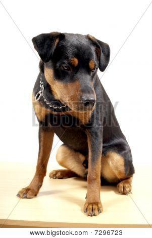 Cute Rottweiler Pincher