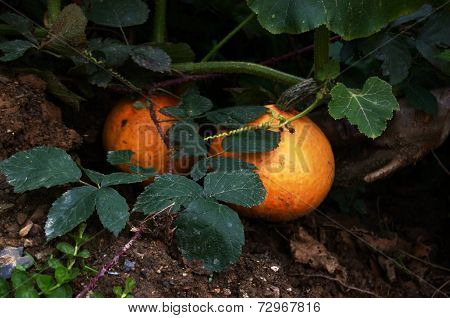 Two ripe pumpkin fruits with wild bramble on bed