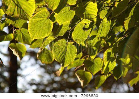 Linden leaves background