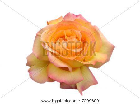 Orange Rose, Isolated