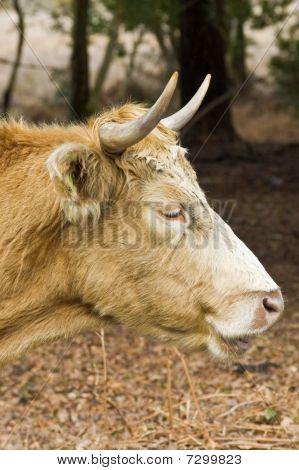 Highland Cow Portrait