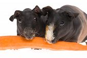 Skinny Guinea Pigs With Carrot On White Background poster