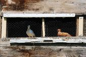 White and brown pigeons sitting in a wooden home-built pigeon coop made from scavenged wood in Bosnia and Herzegovina poster