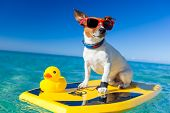 dog surfing on a surfboard wearing sunglasses with a yellow plastic rubber duck at the ocean shore poster