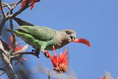 Brown-headed parrot, Poicephalus cryptoxanthus, eating a flower poster