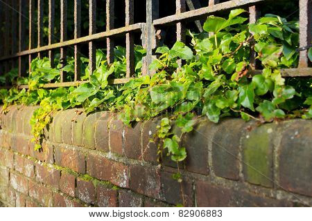 An Iron Fence On Top Of An Ivy Covered Wall.