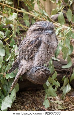 Tawny Frogmouth Owl Perched On A Branch