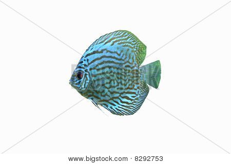 A Blue Discus Tropical Aquarium Fish isolated on a white background poster
