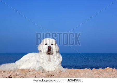 Cute white dog on the beach. Polish Tatra Sheepdog, known also as Podhalan or Owczarek Podhalanski