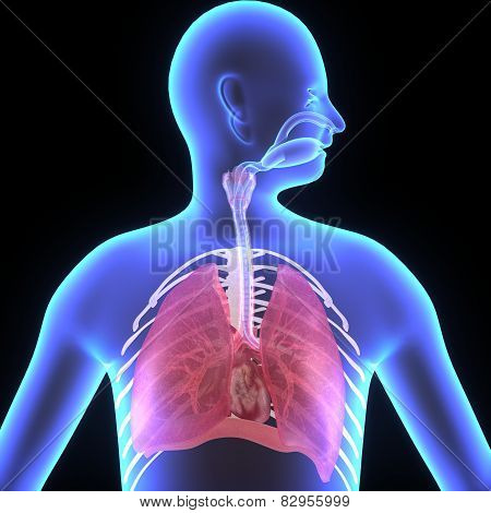 The lungs are the essential respiration organ and are located near the backbone on either side of the heart. poster