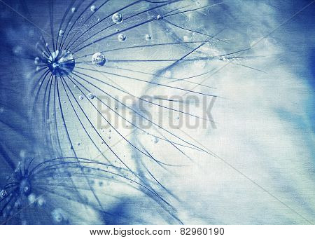 Beautiful blue dandelion background, macro photo of dry taraxacum flower with dew drops, beauty of nature detail, gentle floral wallpaper