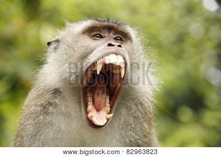 macaque closeßup