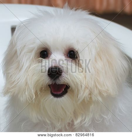 Shih Tzu Puppy Breed Tiny Dog , Age 6 Month, Playfulness, Loveli