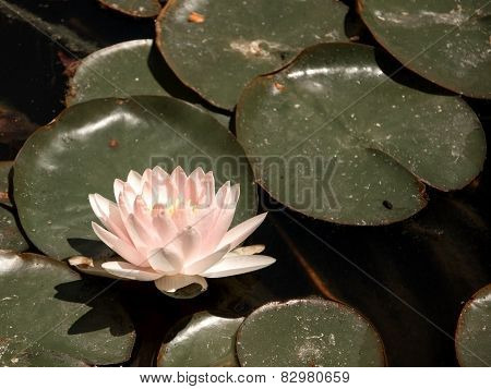 Delicate Pink Waterlily