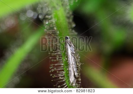Moth (butterfly) catched by Drosera