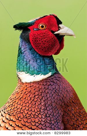 Close up of male Pheasant head and upper body