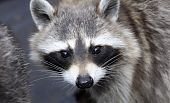 Wild Racoon (Procyon lotor) head photograph face close-up. poster