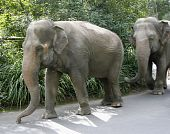 The Asian Elephants go for a walk at an Australian zoo. The Asian Elephant is an endangered species with only 30000 to 40000 individuals left in the wild. poster