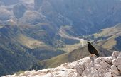 Alpine chough in the Dolomites (pyrrhocorax graculus) poster