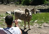 kid takes picture of mountain goat up close and personal. poster