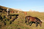 Horses grazing on high pasture in mountain setting poster