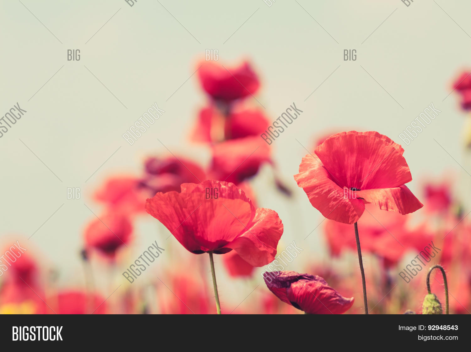 Poppy Flowers Retro Image Photo Free Trial Bigstock