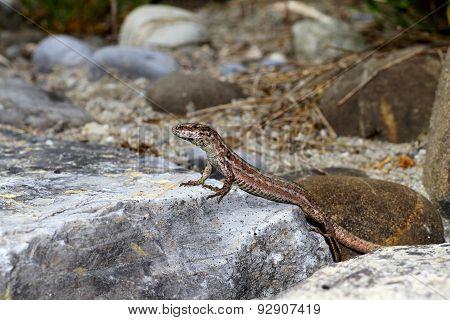 A common wall lizard.