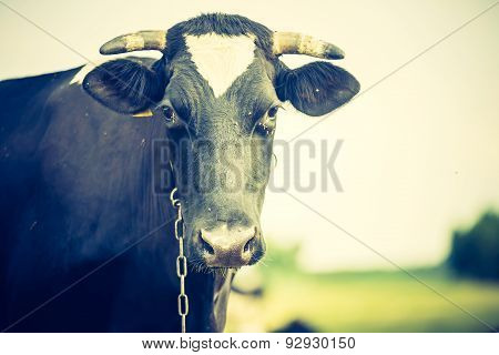 Vintage Portrait Of Cow On Pasture