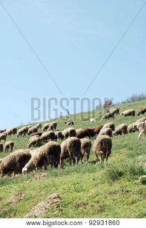 Picure of a A flock of sheep grazing