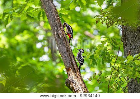 Woodpeckers