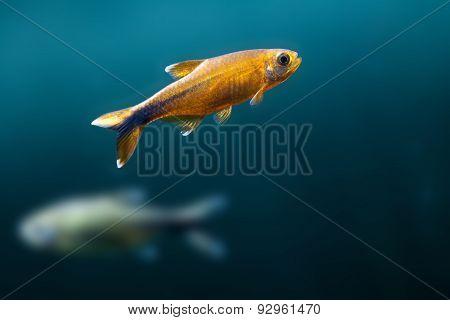 Gold, Orange Fish