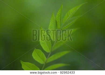 Green Leaf. Blurred Background