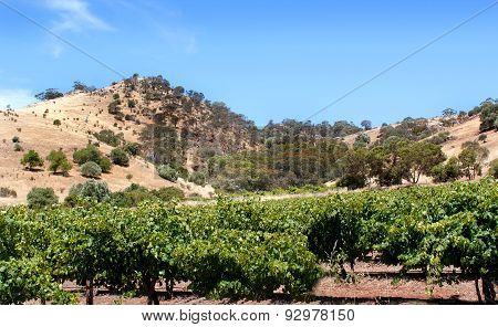 Summer Hills In The Barossa Valley