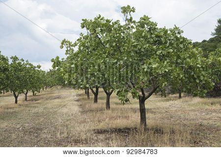 Pistachio Trees