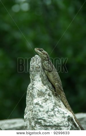 Lizard in wait