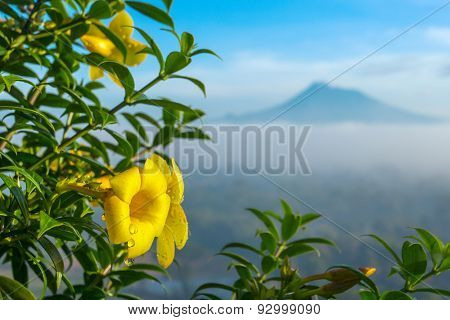 Beautiful yellow flower close up with a Merapi volcano on background, Java, Indonesia.