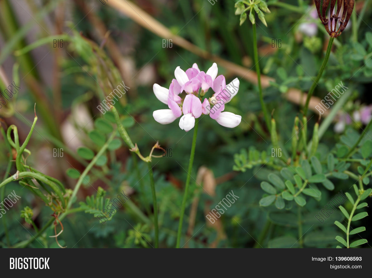 Crown vetch flower image photo free trial bigstock a crown vetch flower securigera varia blooms in a swamp in plainfield illinois izmirmasajfo