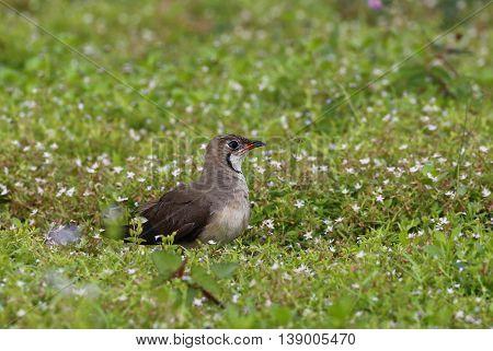 Oriental Pratincole (Glareola maldivarum) Bird on the ground in nature at Bang Pra Reservoir, Thailand