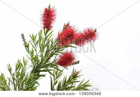 Australian native Bottlebrush natural Callistemon flowers with green foliage