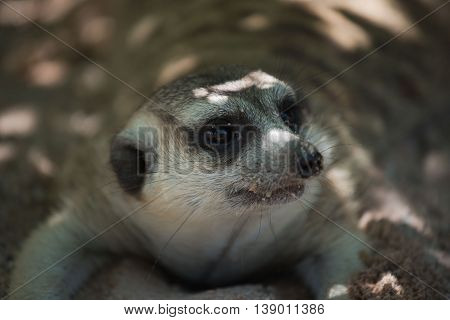 cute Slender-Tailed Meerkats on  Sand in the zoo poster